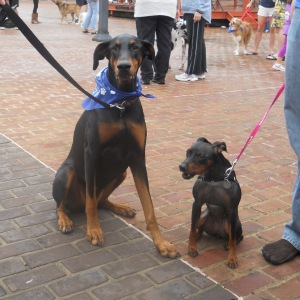 Doberman with Manchester Terrier