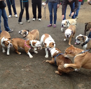 bulldogs tug of war