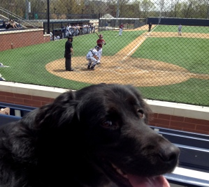 Black dog sitting in the stands watching a baseball game
