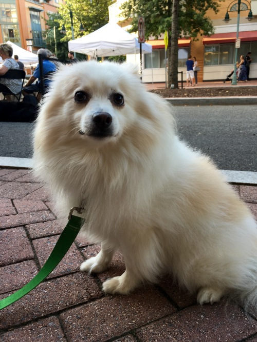 Small blonde Pomeranian dog