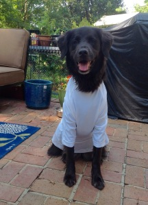 black dog sitting wearing  white shirt