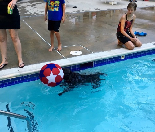 black labrador pushing large red ball in pool