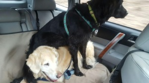 Two dogs in back seat of car